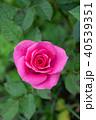 ミニバラ ピンク 花の写真 40539351
