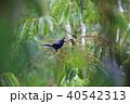 アポオオサマムクドリ 野鳥 ムクドリの写真 40542313