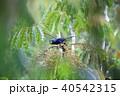 アポオオサマムクドリ 野鳥 ムクドリの写真 40542315