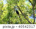 アポオオサマムクドリ 野鳥 ムクドリの写真 40542317