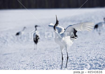 着陸後、翼をたたむタンチョウ(北海道・鶴居) 40543636