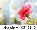 牡丹 ボタン ぼたん 花 赤 春 夏 40545943