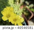黄色いオキザリスの花 40546581