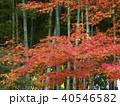 竹林と紅葉 40546582
