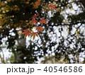 紅葉の一枝 40546586