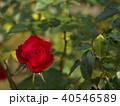 真紅の秋バラ 40546589