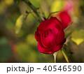 真紅の秋バラ 40546590