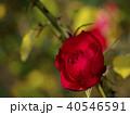 真紅の秋バラ 40546591