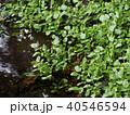 湧水で育つ自生のクレソン 40546594