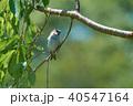 小鳥 鳥 野鳥の写真 40547164