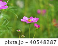 花 コスモス 秋桜の写真 40548287
