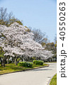 桜 大仙公園 木の写真 40550263