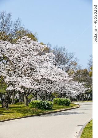 大仙公園の桜 40550263