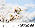 桜 花 植物の写真 40550266