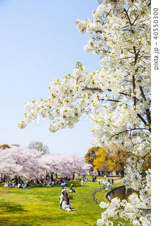 桜 40550300
