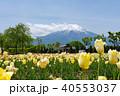 山中湖花の都公園 チューリップ 富士山の写真 40553037
