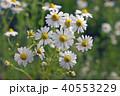 花 春 カモミールの写真 40553229
