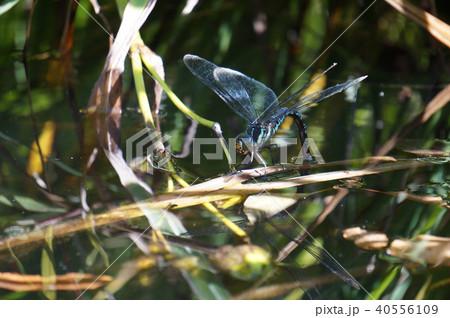 オオルリボシヤンマの産卵 40556109
