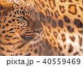 東武動物公園 チーター 40559469