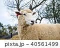 羊 ひつじ ヒツジの写真 40561499