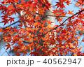 紅葉 モミジ 秋の写真 40562947