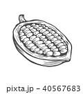 豆 カカオ ベクトルのイラスト 40567683