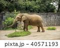 アフリカ象 40571193