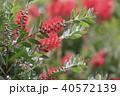 ブラシノキ 花 植物の写真 40572139
