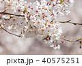 桜の花 40575251