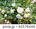 花 バラ 白バラの写真 40576446