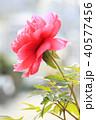 牡丹 ボタン ぼたん 花 赤 春 夏 40577456