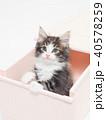 引き出しに入ったノルウェージァンフォレストキァットの仔猫 40578259