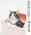引き出しに入ったノルウェージァンフォレストキァットの仔猫 40578260