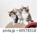3匹のノルウェージァンフォレストキァットの仔猫 40578318