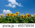向日葵 夏空 夏の写真 40578936