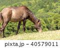 都井岬 野生馬 御崎馬の写真 40579011