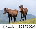 都井岬 野生馬 御崎馬の写真 40579026