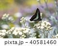 アオスジアゲハ 40581460