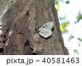 昆虫 虫 蝶の写真 40581463