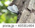 昆虫 虫 蝶の写真 40581464