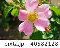 花 バラ 薔薇の写真 40582128