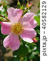 花 バラ 薔薇の写真 40582129
