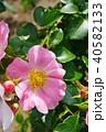 花 バラ 薔薇の写真 40582133