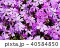 芝桜 花 植物の写真 40584850