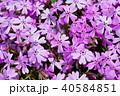 芝桜 花 植物の写真 40584851
