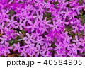 芝桜 花 植物の写真 40584905
