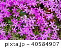 芝桜 花 植物の写真 40584907