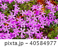 芝桜 花 植物の写真 40584977