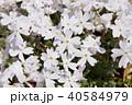 芝桜 花 植物の写真 40584979
