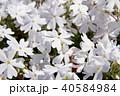 芝桜 花 植物の写真 40584984